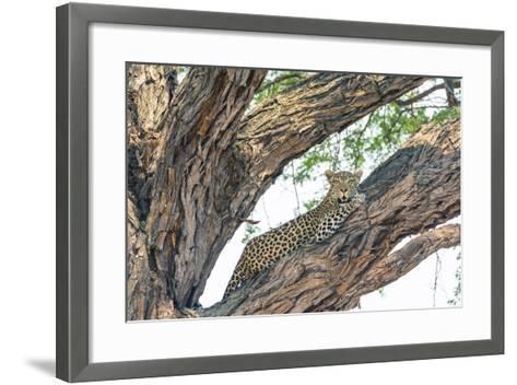 Botswana. Okavango Delta. Khwai Concession. Female Leopard Resting High in a Tree-Inger Hogstrom-Framed Art Print