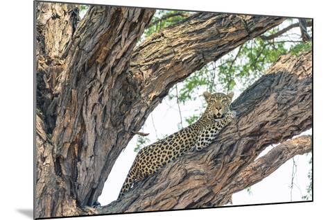 Botswana. Okavango Delta. Khwai Concession. Female Leopard Resting High in a Tree-Inger Hogstrom-Mounted Photographic Print
