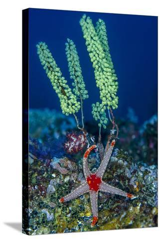 Indonesia, West Papua, Raja Ampat. Sea Star and Tunicate-Jaynes Gallery-Stretched Canvas Print