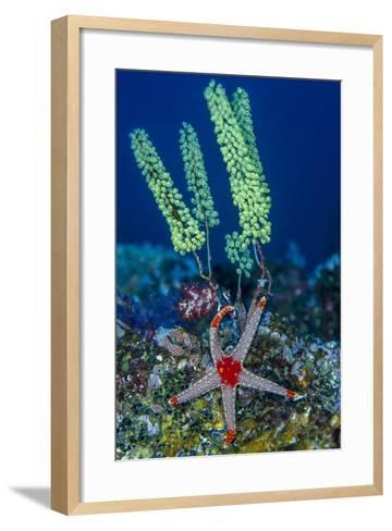 Indonesia, West Papua, Raja Ampat. Sea Star and Tunicate-Jaynes Gallery-Framed Art Print