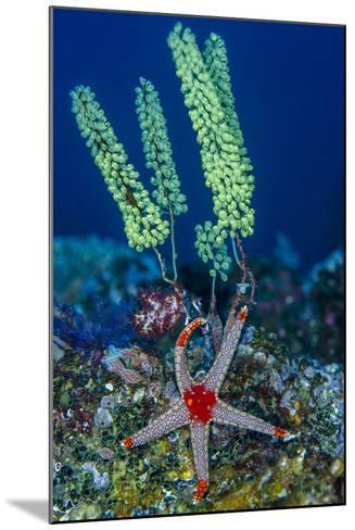 Indonesia, West Papua, Raja Ampat. Sea Star and Tunicate-Jaynes Gallery-Mounted Photographic Print