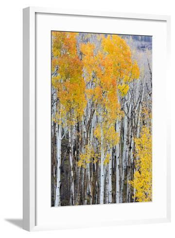 Utah, Dixie National Forest, Aspen Forest Along Highway 12-Jamie And Judy Wild-Framed Art Print