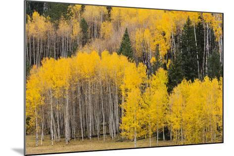 Utah, Dixie National Forest, Aspen Forest Along Highway 12-Jamie And Judy Wild-Mounted Photographic Print