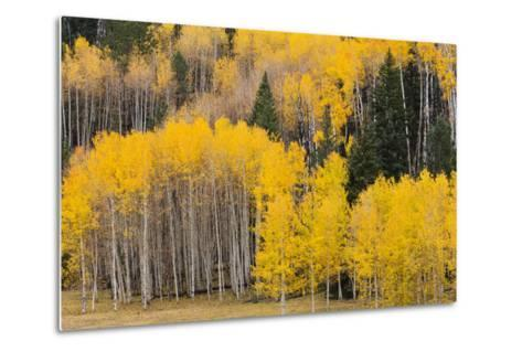 Utah, Dixie National Forest, Aspen Forest Along Highway 12-Jamie And Judy Wild-Metal Print