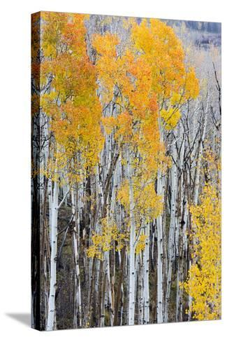 Utah, Dixie National Forest, Aspen Forest Along Highway 12-Jamie And Judy Wild-Stretched Canvas Print