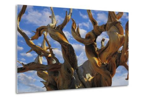 California, White Mountains Wilderness. Bristlecone Pine Tree Close-Up-Jaynes Gallery-Metal Print