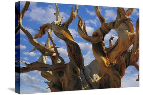 California, White Mountains Wilderness. Bristlecone Pine Tree Close-Up-Jaynes Gallery-Stretched Canvas Print
