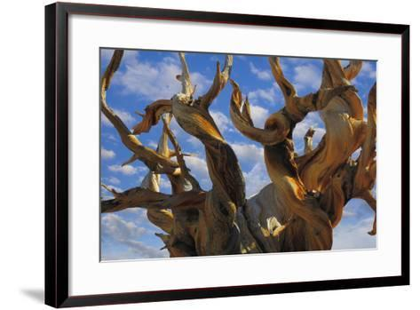 California, White Mountains Wilderness. Bristlecone Pine Tree Close-Up-Jaynes Gallery-Framed Art Print