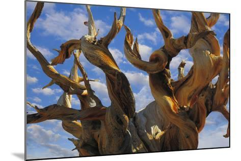 California, White Mountains Wilderness. Bristlecone Pine Tree Close-Up-Jaynes Gallery-Mounted Photographic Print