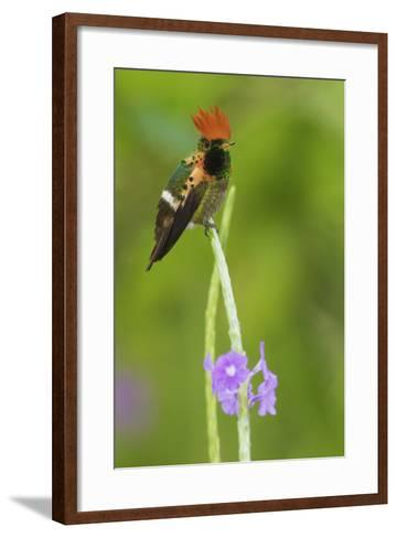 Tufted Crockette Male-Ken Archer-Framed Art Print