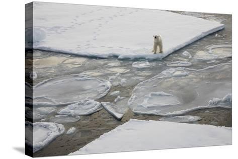 Norway, Svalbard, Spitsbergen. Polar Bear Stands on Sea Ice-Jaynes Gallery-Stretched Canvas Print