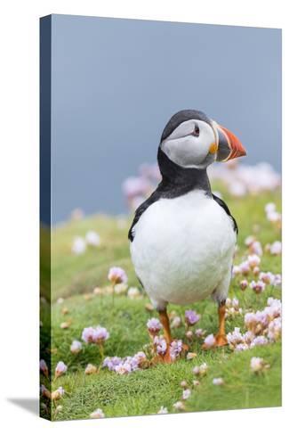 Atlantic Puffin. Scotland, Shetland Islands-Martin Zwick-Stretched Canvas Print