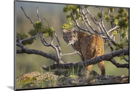 Bobcat on Lookout, Montana, Usa-Tim Fitzharris-Mounted Photographic Print