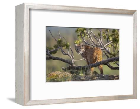 Bobcat on Lookout, Montana, Usa-Tim Fitzharris-Framed Art Print