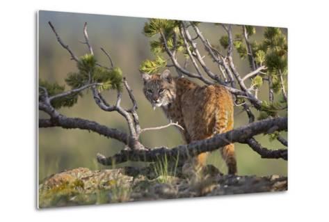 Bobcat on Lookout, Montana, Usa-Tim Fitzharris-Metal Print