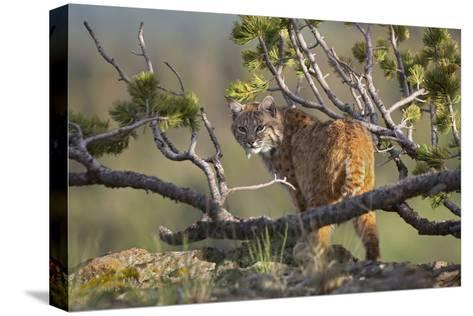 Bobcat on Lookout, Montana, Usa-Tim Fitzharris-Stretched Canvas Print