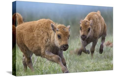 Baby Bison Running, Wyoming, Usa-Tim Fitzharris-Stretched Canvas Print
