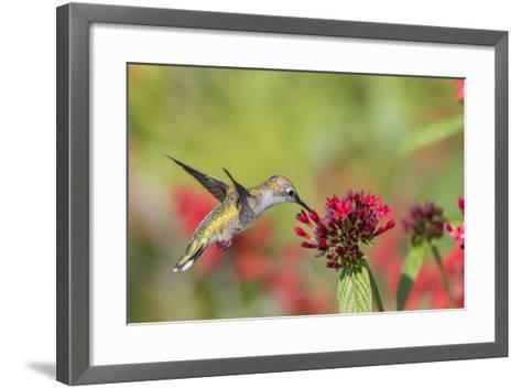Ruby-Throated Hummingbird at Red Pentas in Marion County, Illinois-Richard and Susan Day-Framed Art Print