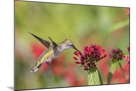 Ruby-Throated Hummingbird at Red Pentas in Marion County, Illinois-Richard and Susan Day-Mounted Photographic Print