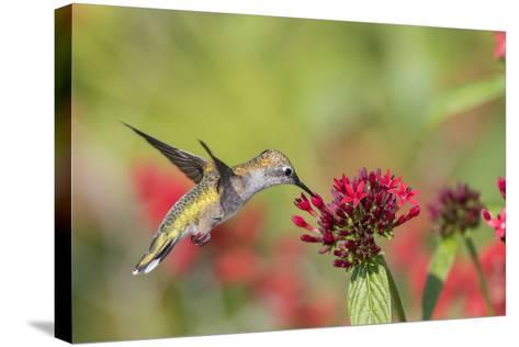 Ruby-Throated Hummingbird at Red Pentas in Marion County, Illinois-Richard and Susan Day-Stretched Canvas Print