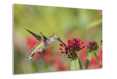 Ruby-Throated Hummingbird at Red Pentas in Marion County, Illinois-Richard and Susan Day-Metal Print