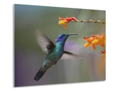 Green Violet-Ear Hummingbird Hovering at a Flower-Tim Fitzharris-Metal Print
