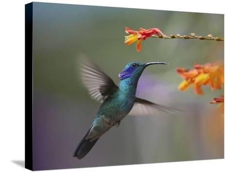 Green Violet-Ear Hummingbird Hovering at a Flower-Tim Fitzharris-Stretched Canvas Print