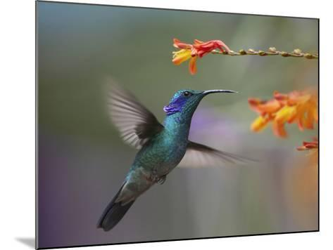 Green Violet-Ear Hummingbird Hovering at a Flower-Tim Fitzharris-Mounted Photographic Print