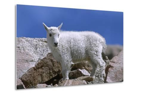 Mountain Goat Kid on Rocks, Mount Evans Recreation Area, Arapaho National Forest, Colorado, Usa-John Barger-Metal Print