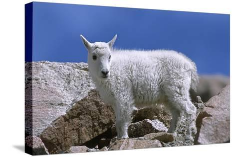 Mountain Goat Kid on Rocks, Mount Evans Recreation Area, Arapaho National Forest, Colorado, Usa-John Barger-Stretched Canvas Print