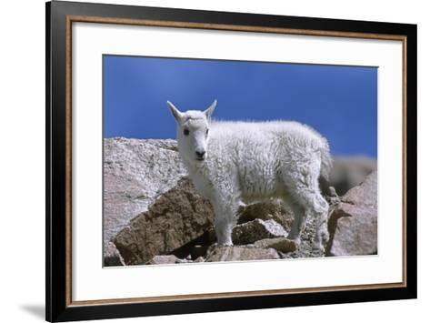 Mountain Goat Kid on Rocks, Mount Evans Recreation Area, Arapaho National Forest, Colorado, Usa-John Barger-Framed Art Print