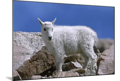 Mountain Goat Kid on Rocks, Mount Evans Recreation Area, Arapaho National Forest, Colorado, Usa-John Barger-Mounted Photographic Print