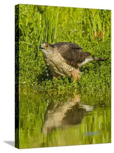 Texas, Hidalgo County. Cooper's Hawk Reflecting in Water-Jaynes Gallery-Stretched Canvas Print