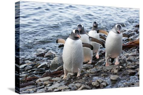 South Georgia Island, Godthul. Gentoo Penguins on Shore-Jaynes Gallery-Stretched Canvas Print
