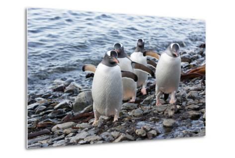 South Georgia Island, Godthul. Gentoo Penguins on Shore-Jaynes Gallery-Metal Print