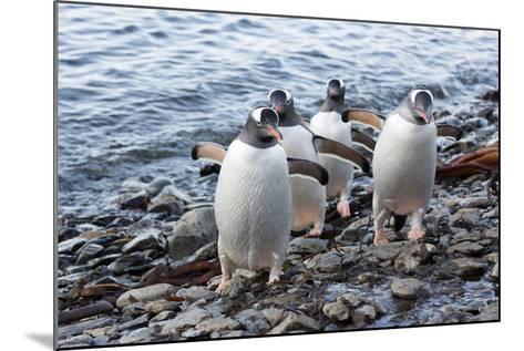South Georgia Island, Godthul. Gentoo Penguins on Shore-Jaynes Gallery-Mounted Photographic Print