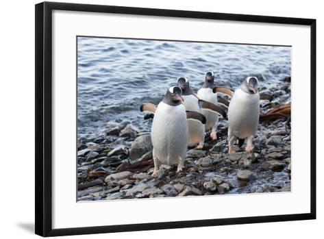 South Georgia Island, Godthul. Gentoo Penguins on Shore-Jaynes Gallery-Framed Art Print