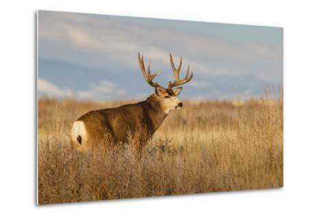 Mule Deer Buck in Winter Grassland Cover-Larry Ditto-Metal Print
