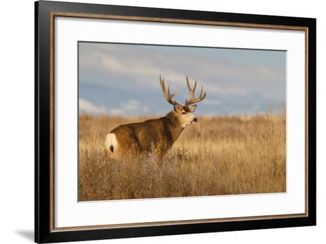 Mule Deer Buck in Winter Grassland Cover-Larry Ditto-Framed Art Print