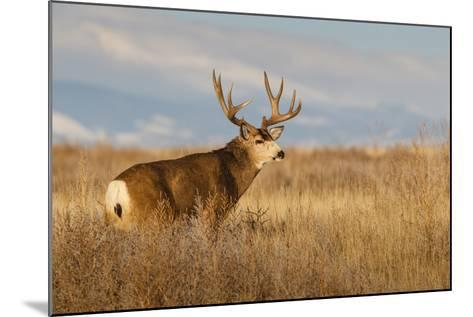 Mule Deer Buck in Winter Grassland Cover-Larry Ditto-Mounted Photographic Print
