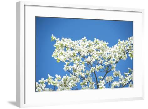 Massachusetts, Boston, Arnold Arboretum, Dogwood Tree-Jim Engelbrecht-Framed Art Print
