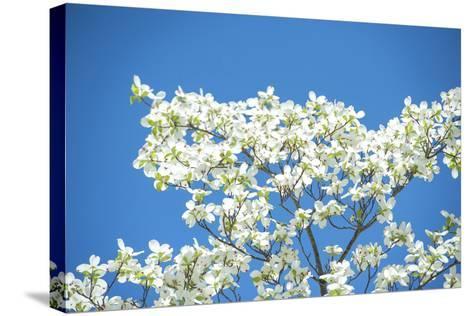 Massachusetts, Boston, Arnold Arboretum, Dogwood Tree-Jim Engelbrecht-Stretched Canvas Print