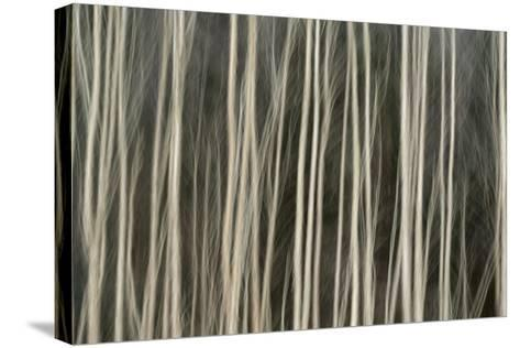 Abstract Tree Pattern, Great Smoky Mountains National Park, Tennessee-Adam Jones-Stretched Canvas Print