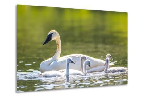 Montana, Elk Lake, a Trumpeter Swan Swims with Five of Her Cygnets-Elizabeth Boehm-Metal Print