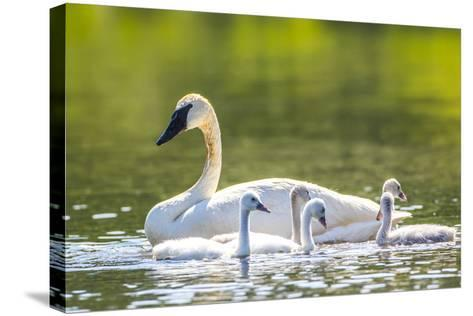 Montana, Elk Lake, a Trumpeter Swan Swims with Five of Her Cygnets-Elizabeth Boehm-Stretched Canvas Print