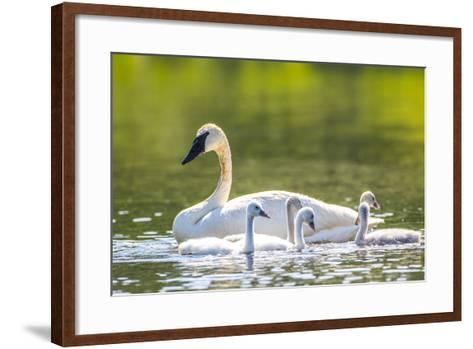 Montana, Elk Lake, a Trumpeter Swan Swims with Five of Her Cygnets-Elizabeth Boehm-Framed Art Print