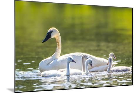 Montana, Elk Lake, a Trumpeter Swan Swims with Five of Her Cygnets-Elizabeth Boehm-Mounted Photographic Print