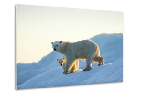 Polar Bear and Cub Walking on Sea Ice at Sunset Near Harbor Islands,Canada-Paul Souders-Metal Print