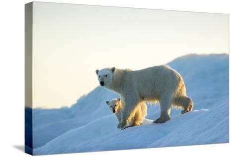 Polar Bear and Cub Walking on Sea Ice at Sunset Near Harbor Islands,Canada-Paul Souders-Stretched Canvas Print