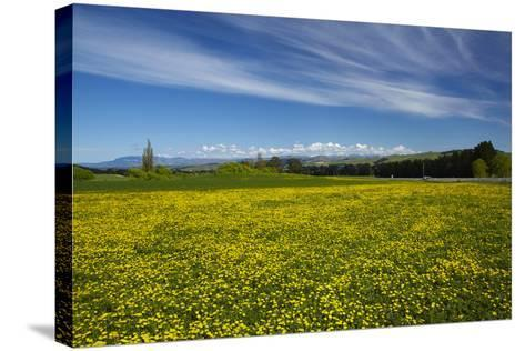Field of Dandelions, Near Greta Valley, North Canterbury, South Island, New Zealand-David Wall-Stretched Canvas Print